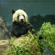 Bei Bei The Panda