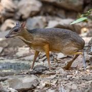 Mouse Deer