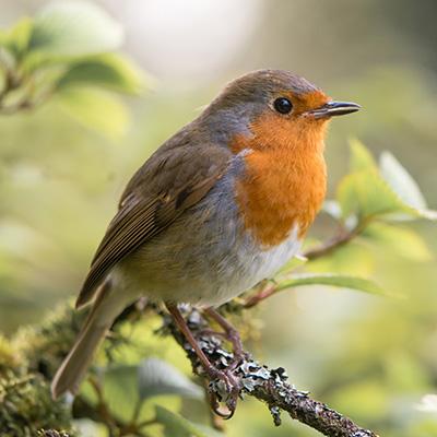 Songbird-400x400-1.jpg