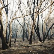Burnt Trees in Australia